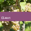 Weinsorte: Gavi