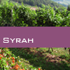 Weinsorte: Syrah